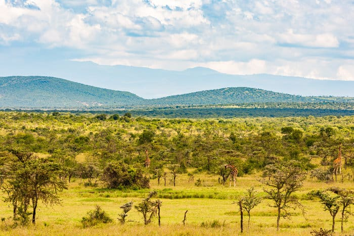 Reticulated giraffe on the Laikipia plateau, Ol Pejeta region