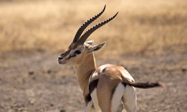Thomson's gazelle facts – Speed, habitat, diet & more