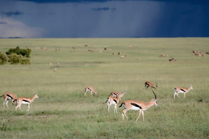 Thomson's gazelle in their natural habitat, Masai Mara