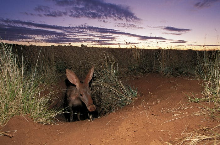 Aardvark emerging from its burrow at dusk, Tussen die Riviere Nature Reserve, South Africa