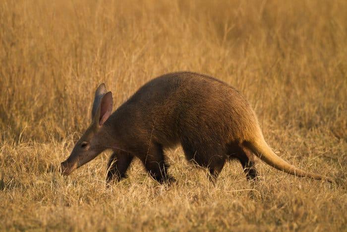 Rare aardvark in late afternoon golden light, Marakele National Park, South Africa