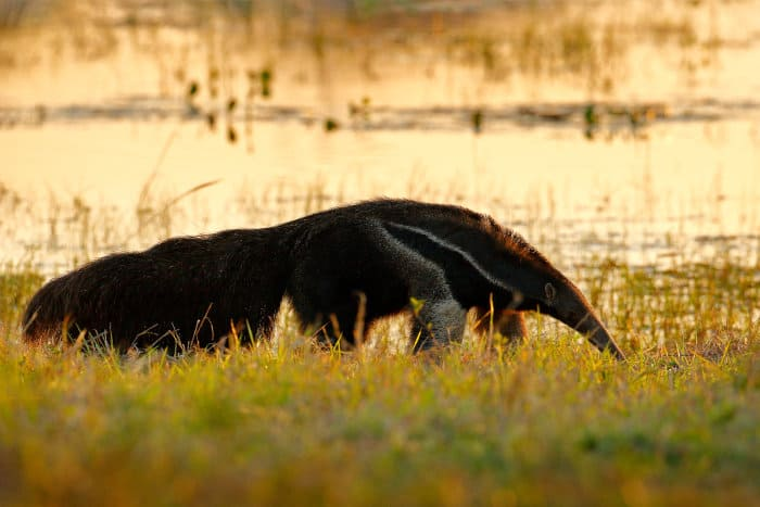 Anteater looking for food at sunset, Pantanal, Brazil