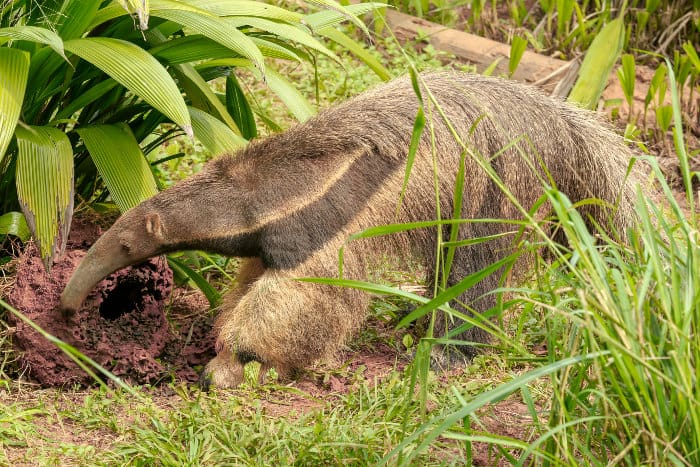 Giant anteater digging for termites