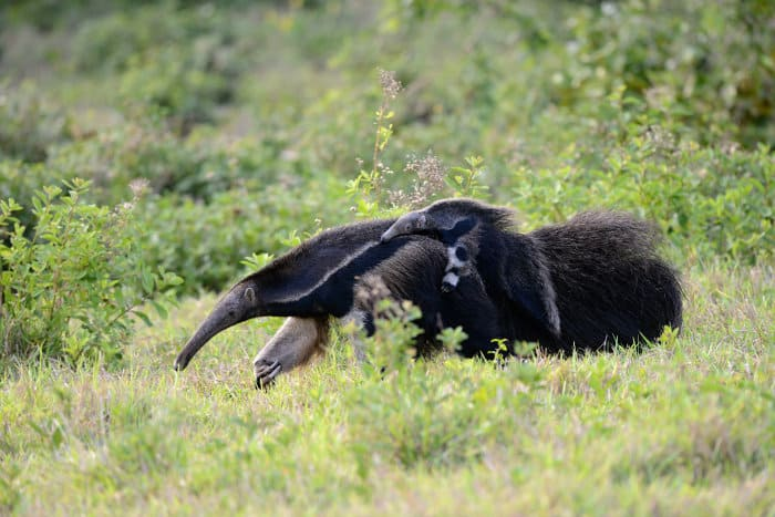 Baby anteater on its mother's back