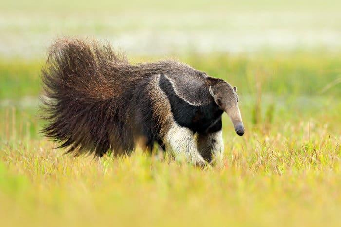 Anteater in its natural habitat, Brazil
