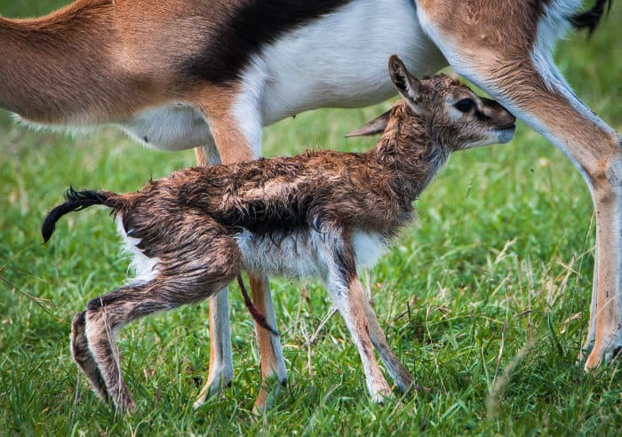 Baby Thomson's gazelle only minutes after being born