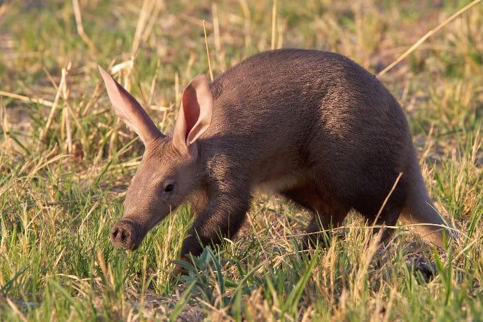 Baby aardvark in the Kalahari