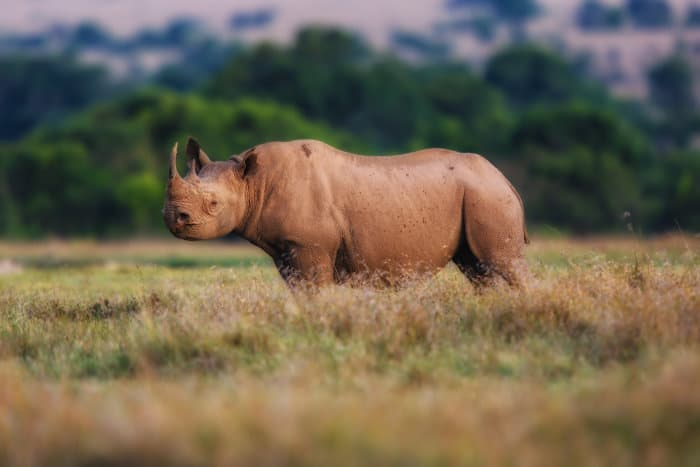 Ol Pejeta Conservancy is home to the largest concentration of black rhinos in eastern Africa, with 130 individuals