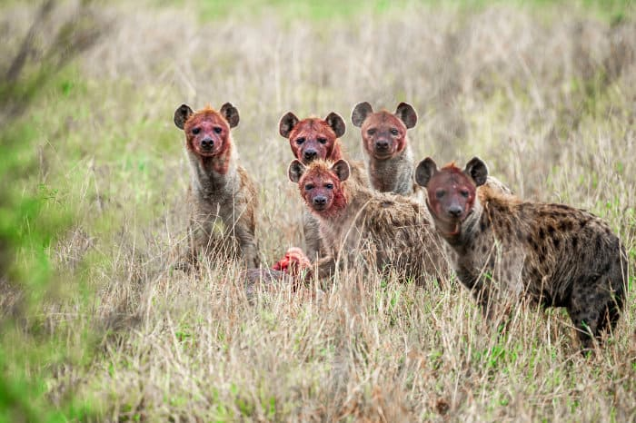 5 bloody hyena looking at the camera