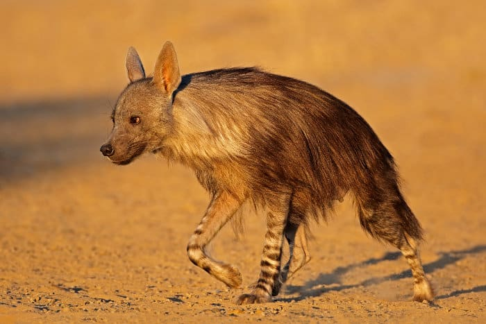 Brown hyena on the move in the Kalahari, South Africa