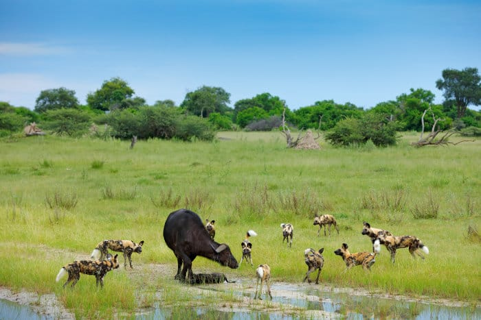 Buffalo and her calf surrounded by African wild dogs, Moremi Game Reserve, Okavango Delta
