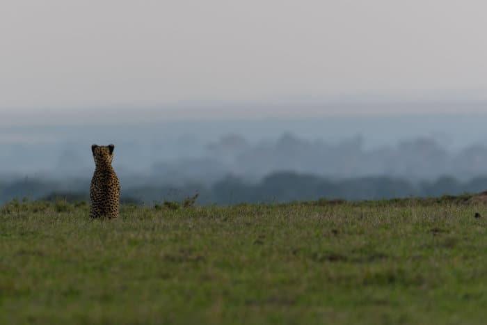 Cheetah enjoying the view in Ol Pejeta, Kenya