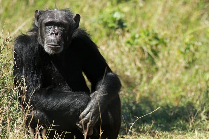 Common chimpanzee at the Ol Pejeta Conservancy in Kenya