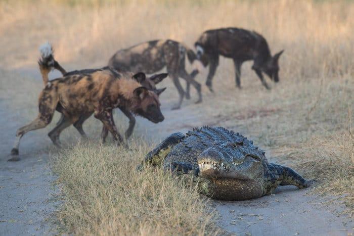Nile crocodile vs wild dogs, Moremi National Park, Botswana