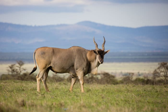 Large eland bull in the African savanna, Ol Pejeta, Kenya