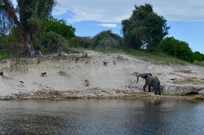 African elephant and olive baboon by the river