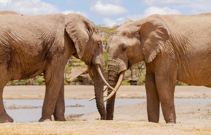 Two elephants meeting head to head, Sweetwaters waterhole, Ol Pejeta Conservancy