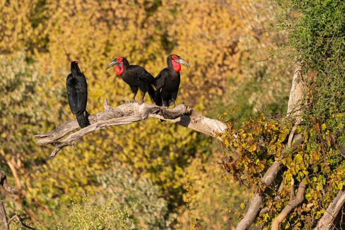 Three ground hornbills perched on a dead branch in Chobe, Botswana