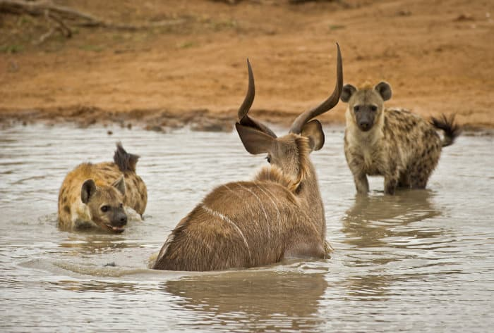 Spotted hyena hunting greater kudu in water, Timbavati, South Africa