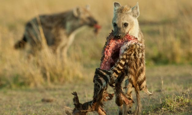 Are hyenas just scavengers?