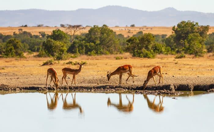 Impala reflection, Ol Pejeta Conservancy, Kenya