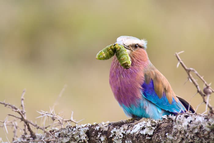Lilac-breasted roller with a caterpillar in its beak, Ol Pejeta Conservancy, Kenya
