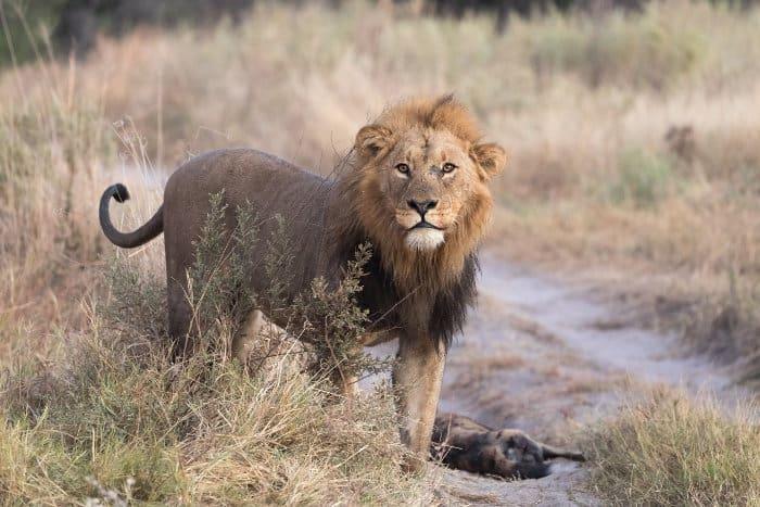 Lion and injured wild dog, Okavango Delta, Botswana