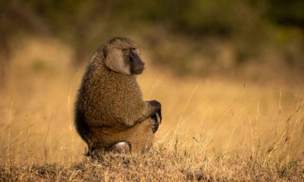 Olive baboon facts & info: a guide to the skilled African foragers