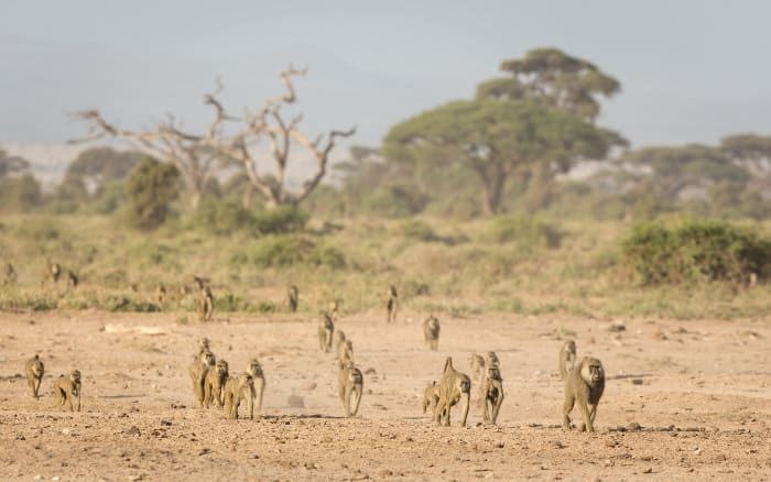 Large troop of olive baboons on the move in Amboseli, Kenya