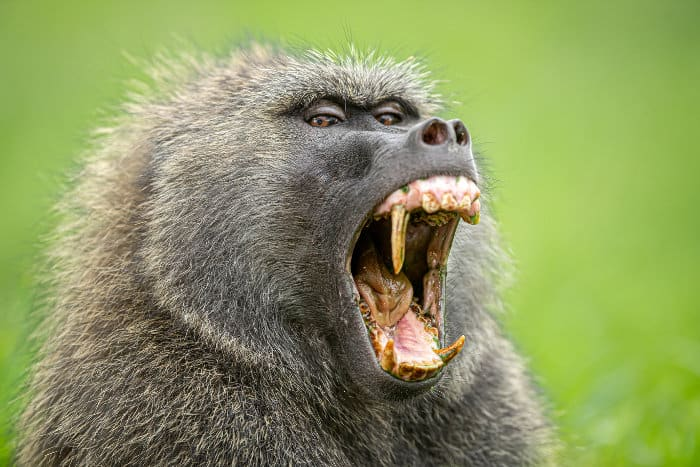 Male olive baboon yawning, revealing huge canines