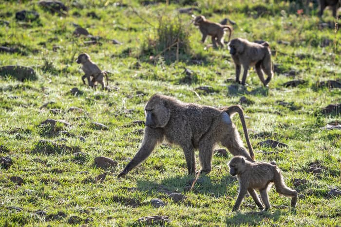 Troop of olive baboons foraging for food in afternoon sunlight