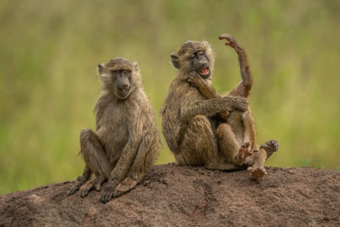 Three playful olive baboons sitting on a mound