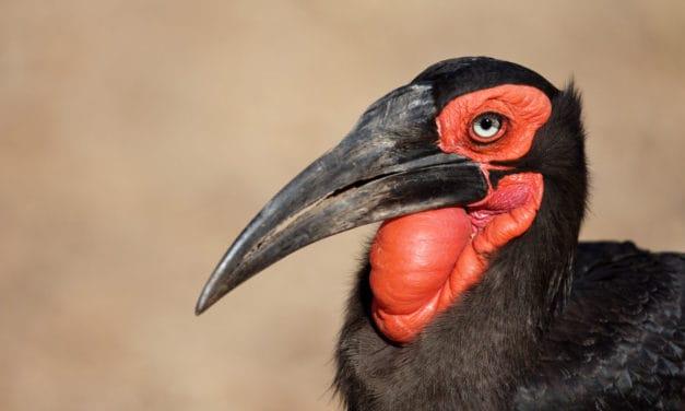 Southern ground hornbill facts – Lifespan, breeding habits, habitat & more