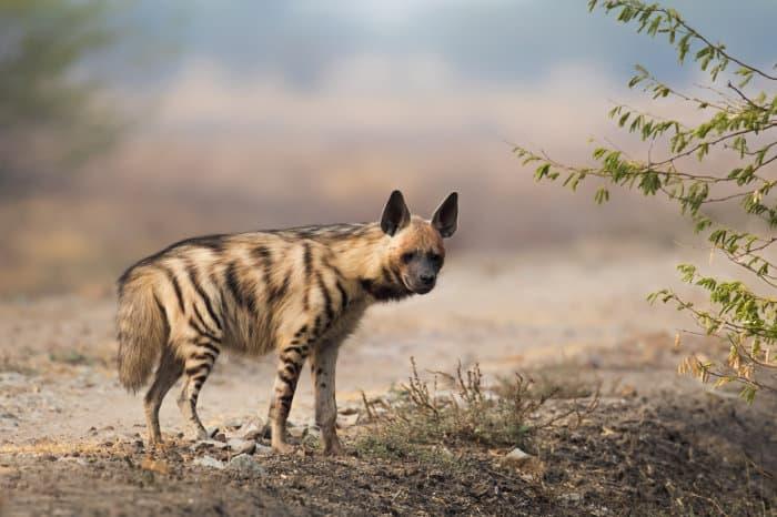 Striped hyena portrait in Blackbuck National Park, India