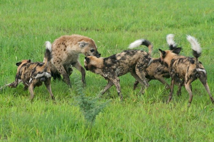 Wild dogs vs spotted hyena in Botswana