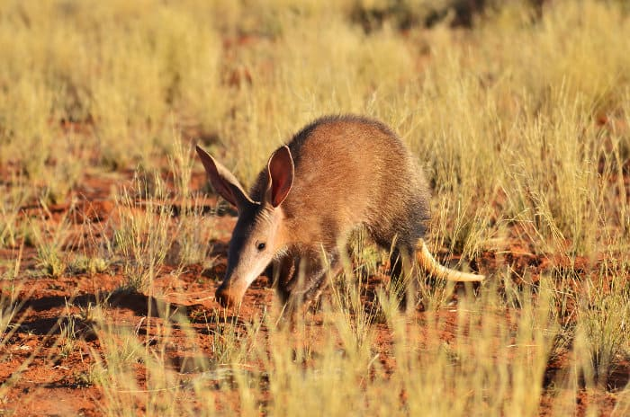 Young aardvark in late afternoon light, Kalahari
