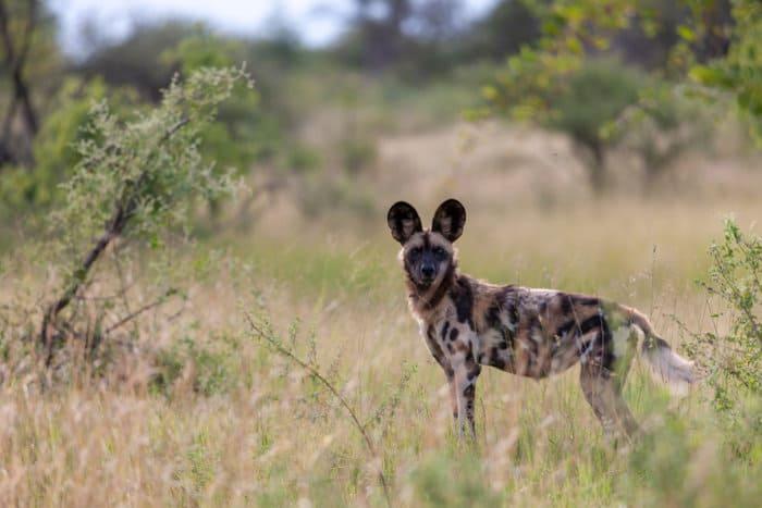 African wild dog in Madikwe, South Africa
