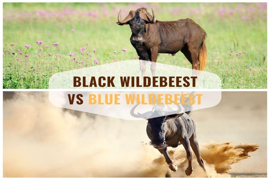 Black wildebeest vs blue wildebeest: who gnu?
