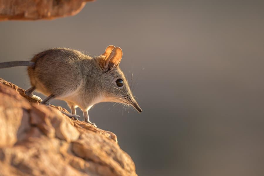 Elephant shrew: facts about the adorable African sengi