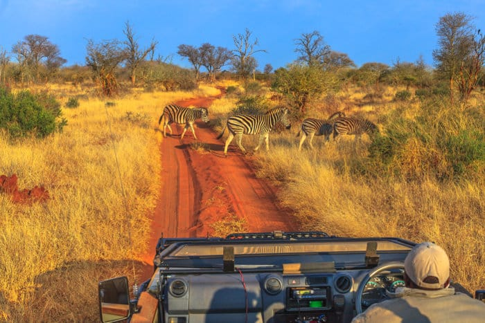 Zebra crossing a dirt road on a Madikwe game drive in South Africa