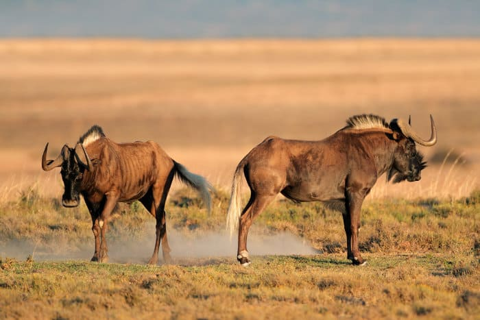 Two black wildebeest males facing opposite directions - as if they were upset with one another