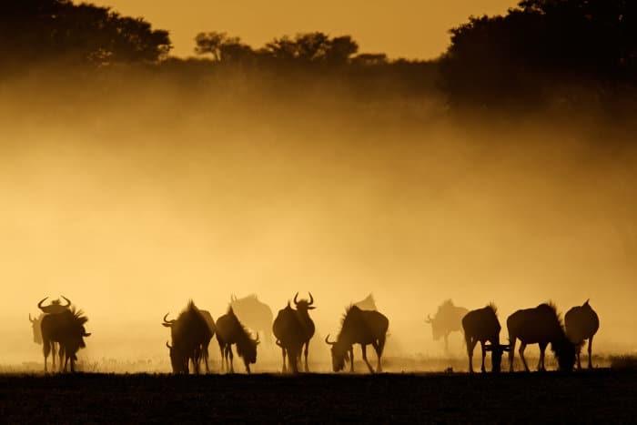 Blue wildebeest silhouettes in dust at sunrise, Kalahari desert, South Africa