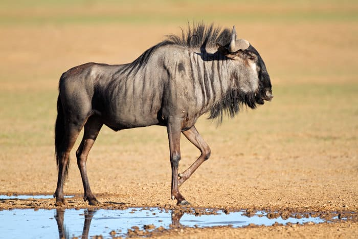 Blue wildebeest at a local waterhole in the Kalahari, South Africa