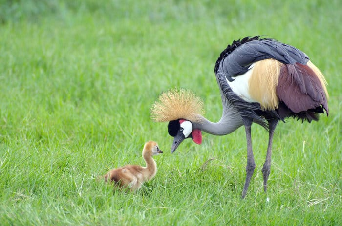 Grey crowned crane and her chick