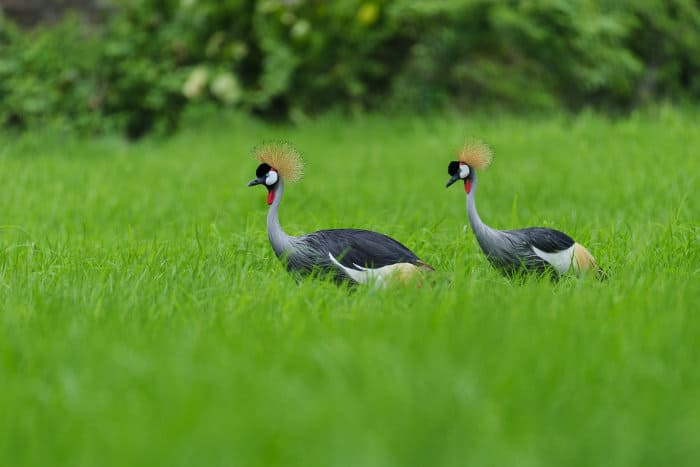 Pair of grey crowned cranes in wet grasslands