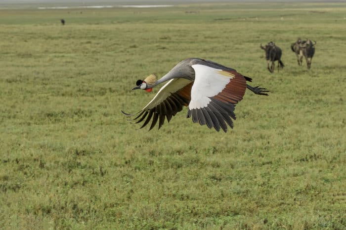 Crowned crane in flight in the Ngorongoro Crater, with blue wildebeest in the background