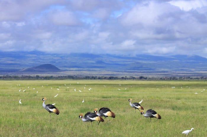 Crowned cranes and cattle egret in Amboseli National Park, Kenya