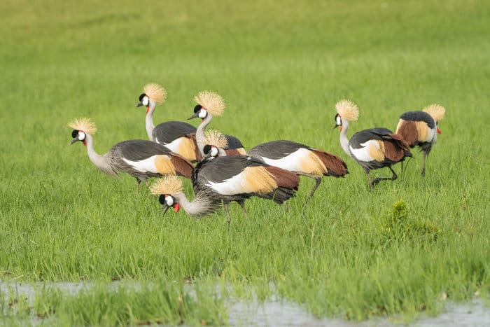 Flock of grey crowned cranes looking for food in tall grass