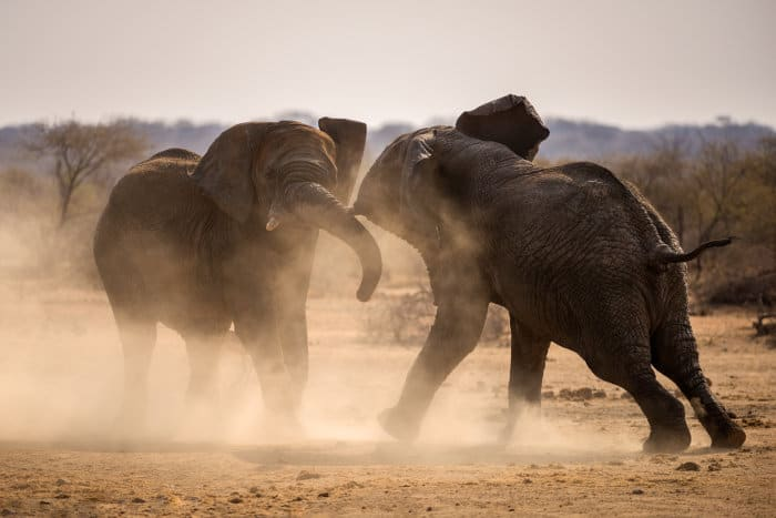 Elephants fighting in cloud of dust, Madikwe