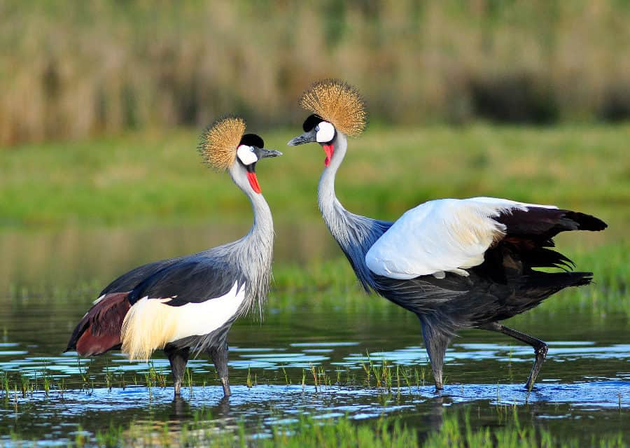 Grey crowned crane – The royal African crested bird